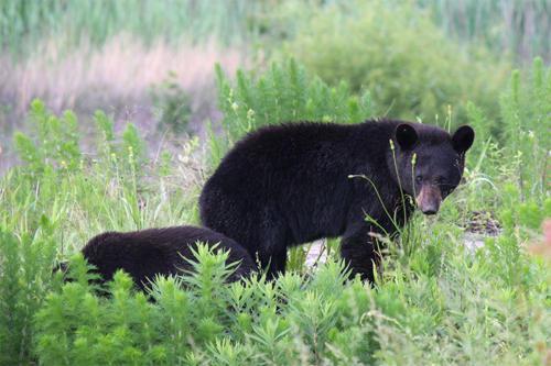 bear-standing
