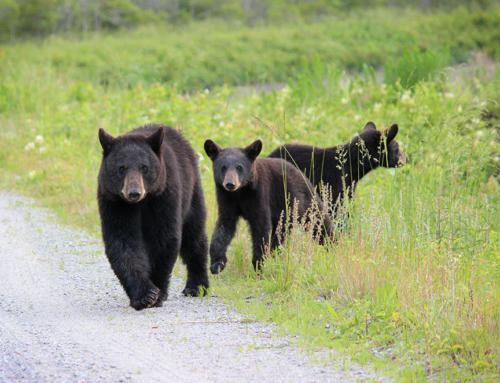 bear.line