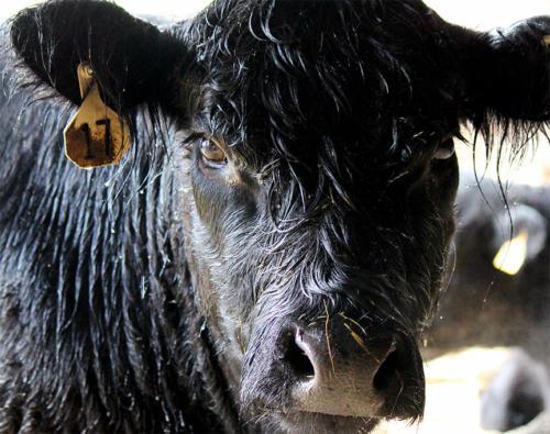cowface-closeup