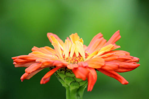 fire-orange-petals