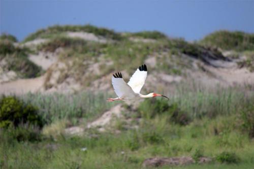 ibis-in-flight