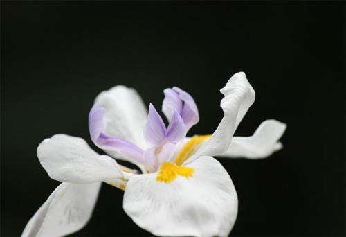 iris-dark-backgroun2