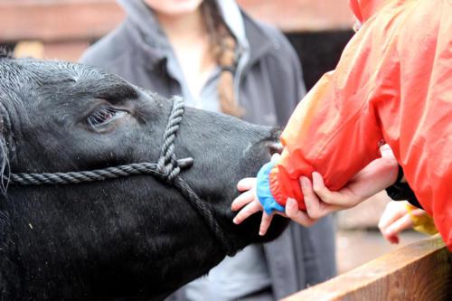 kid-hand-cow