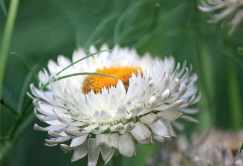 mini-daisy