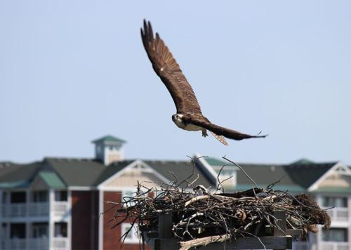 osprey-sweeping-in