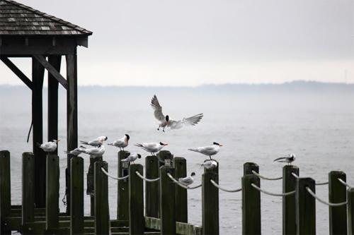 royal-tern-landing1