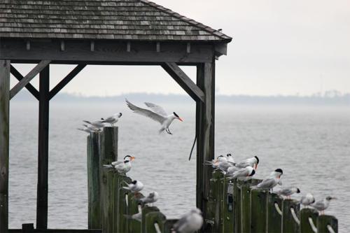 royal-tern-landing2