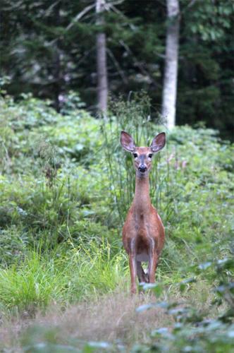 standing-attentive-deer