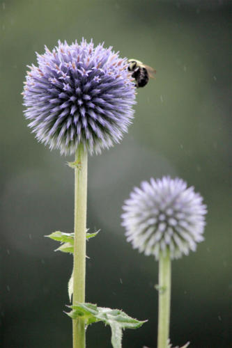 thistle-and-a-bee