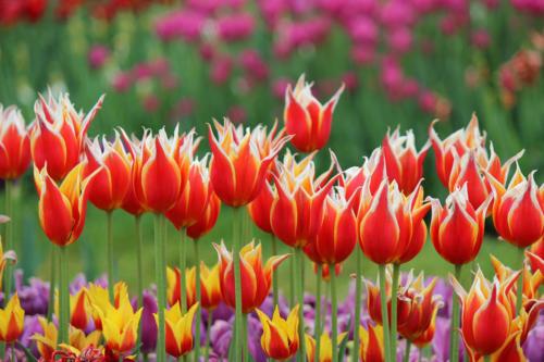 tulips-fire